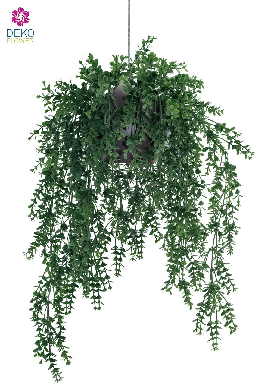 Eukalyptus Hängepflanze in Ampel 77 cm