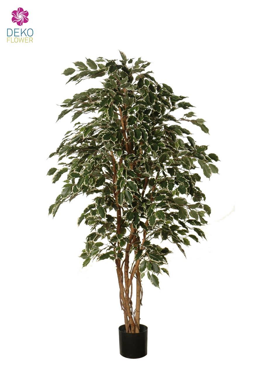 Ficus Exotica 150 bis 175 cm weiß grün
