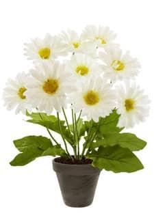Gerbera Topfpflanze weiß 49 cm