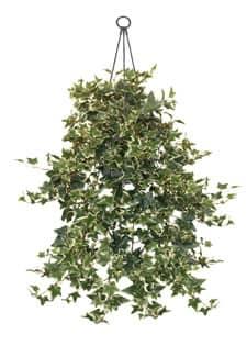 Holland Efeu Rankpflanze in Ampel 80 cm