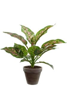Dieffenbachie Pflanze pink grün 35 cm
