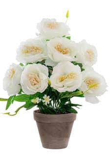 Pfingstrosen Topfpflanze weiß 46 cm