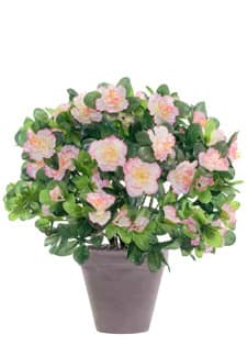 Azaleen weiß rosa 37 cm im Topf