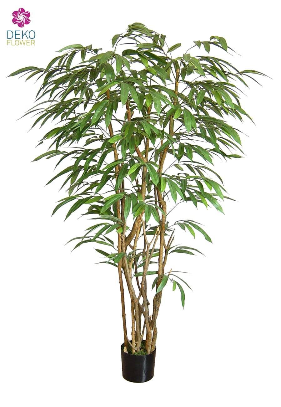 Ficus Longifolia Sudan ca. 210cm