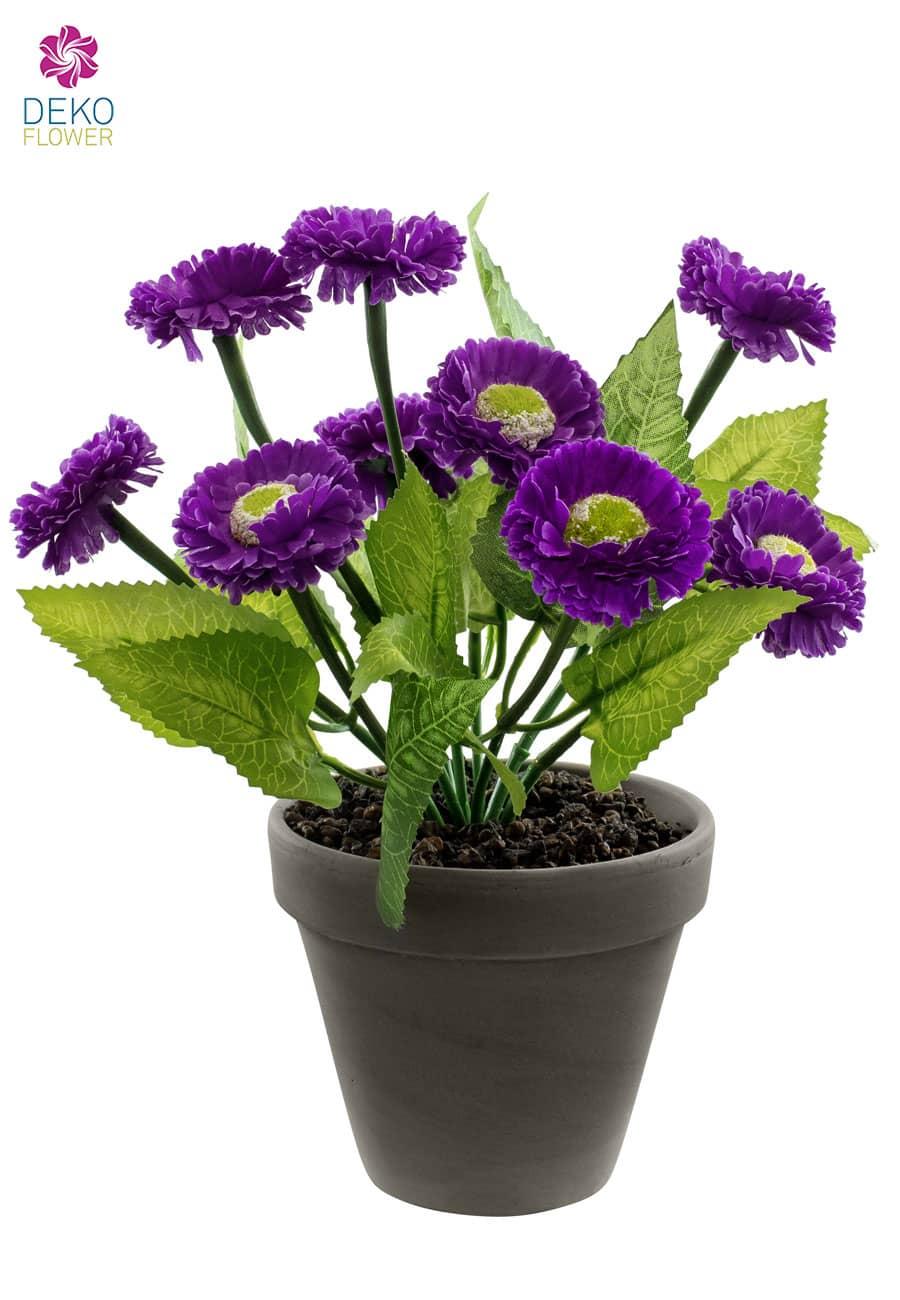 Margeriten Topfblumen 28 cm violett