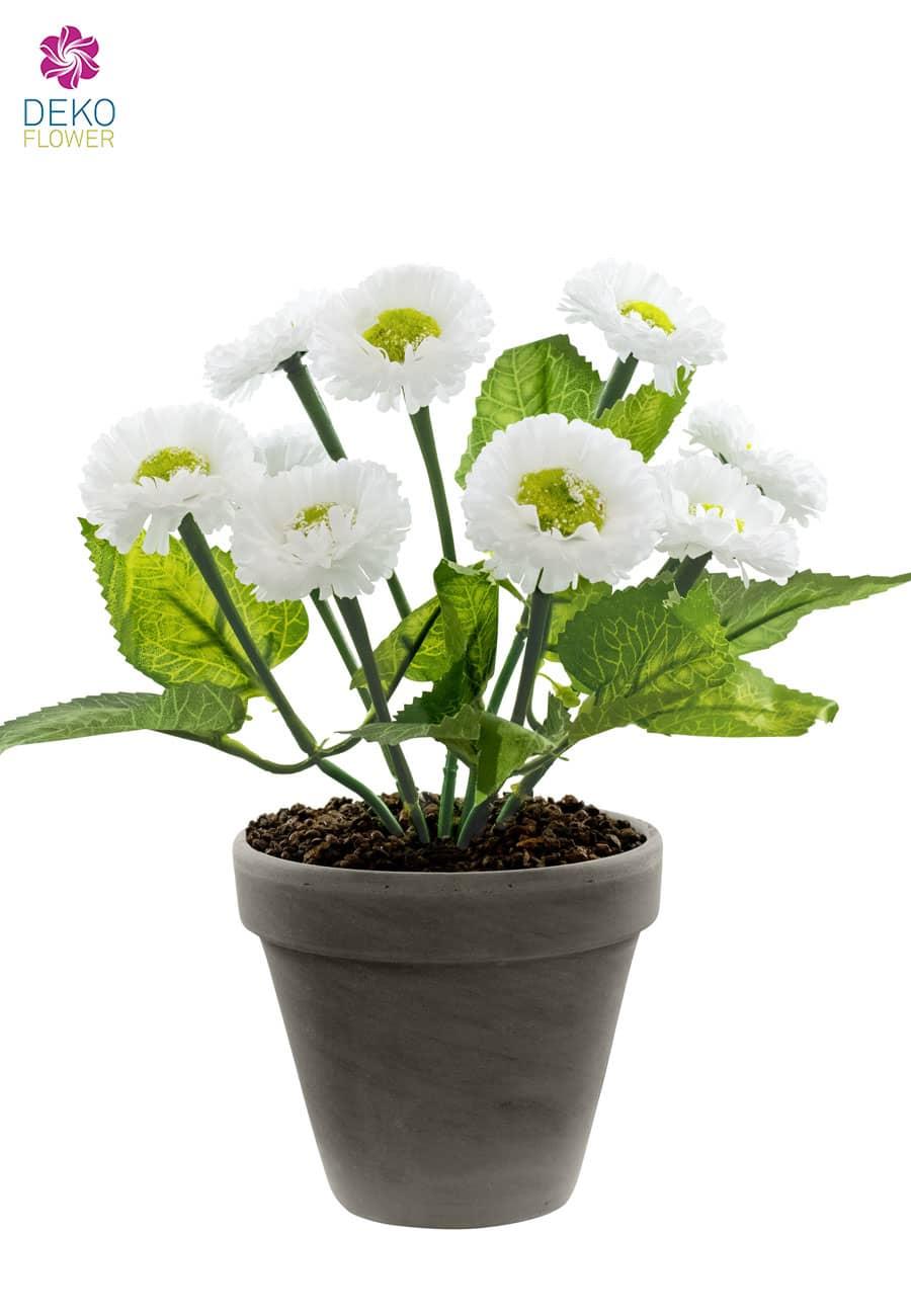 Topfblumen Margeriten weiß 28 cm