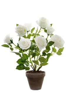 Weißer Rosenbusch im Topf 46 cm